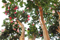 Camellia flowers on tree Royalty Free Stock Photos