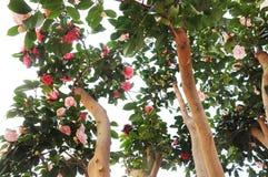 Camellia flowers on tree Royalty Free Stock Photos