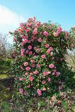 Camellia. Garden with a beautiful Camellia tree Stock Photos