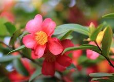 Camellia in garden Stock Images