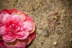 Camellia and ground. Beautiful pink Camelia above ground Royalty Free Stock Image