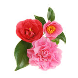 Camellia group Royalty Free Stock Image