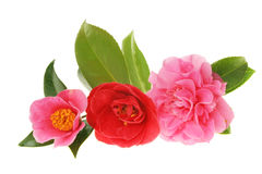 Camellia group Royalty Free Stock Images