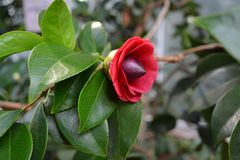 Camellia. Japan, Japanese Stock Photography