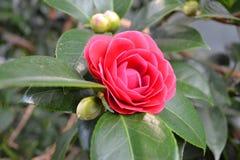 Camellia Japanese. Camellia, Japan, China royalty free stock photos