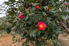 Camellia Japonica Arkivbilder