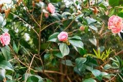 Camellia Japonica Arkivfoto