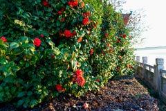 Camellia Japonica Royaltyfria Foton