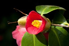 Camellia japonica. Similar to the oldest Camellia in Europe located in Dresden-Pillnitz Royalty Free Stock Photography
