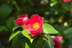 Camellia Japonica. Blooming in Dresden Pillnitz in March Royalty Free Stock Photo
