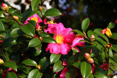 Camellia japonica Royalty Free Stock Photos