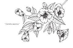 Camellia Japonica blommar teckningen och skissar Fotografering för Bildbyråer