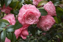 Camellia japonica blossom royalty free stock photography
