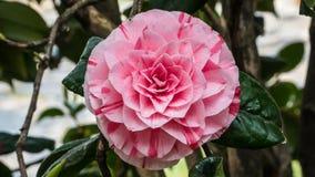 Camellia Japonica-Blume Stockfotos