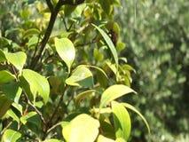 Camellia Japonica stock footage