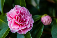 Camellia Japonica flower Royalty Free Stock Photo