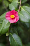 Camellia japonica front view. Camellia japonica in blossom in a greenhouse Royalty Free Stock Photos