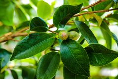 Camellia japonica, known as common camellia, Japanese camellia, or tsubaki in Japanese, is one of the best known species of the. Genus Camellia royalty free stock photo