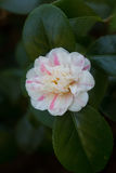Camellia japonica 'Marguerite Guillon'; Royalty Free Stock Images