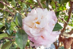 Camellia japonica 'Mary Fischer' Royalty Free Stock Image