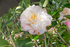 Camellia japonica 'Mary Fischer' Royalty Free Stock Photos
