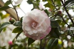 Camellia Japonica Nuccios pärlablomning på en bakgrund av grönska och blommaknoppar royaltyfri foto