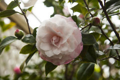 Camellia Japonica, Nuccios-Perlen-Blüte auf einem Hintergrund des Grüns und der Blumen-Knospen Lizenzfreies Stockfoto
