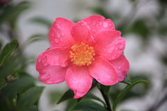Camellia japonica. Pink camellia with rain drops royalty free stock photos