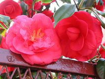 Camellia japonica red flowers royalty free stock photography