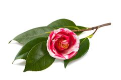 Camellia japonica Royalty Free Stock Image