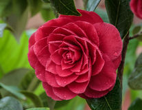 Camellia japonica Royalty Free Stock Images
