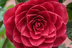 Camellia japonica Stock Photography