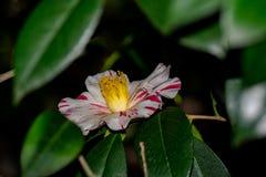 Camellia Japonica Tricolor Fotos de archivo
