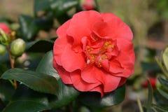 Camellia Lady Campbell royalty-vrije stock foto's