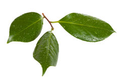 Camellia leaves Royalty Free Stock Photo