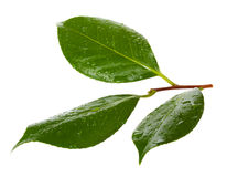 Camellia leaves Stock Photography