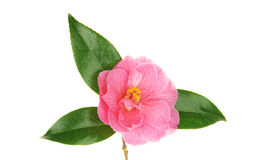 Camellia and leaves Royalty Free Stock Photography