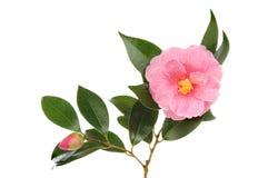Camellia. Magenta camellia flower foliage and bud isolated against white Stock Photos
