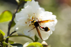 2013 camellia and moth-1. A caterpillar on a flower Royalty Free Stock Images