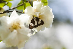2013 camellia and moth-1. A caterpillar on a flower Royalty Free Stock Photo