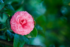 Camellia over green background. Pink Camellia over green background Royalty Free Stock Photography