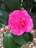 Camellia. The camellia in the park has been opened Stock Image
