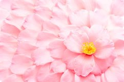Camellia petals background Stock Images