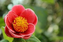 Camellia. The pink bloom of a Camellia blooming in a garden in Hong Kong, China stock image