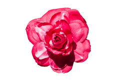 Camellia pink-white. Large Camellia flower on white background Royalty Free Stock Images