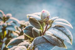 Free Camellia Plant Bud And Leaves On A Frost Cold Morning In Winter Stock Image - 138369221