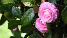 Camellia in a rainy day. At Temple City, Los Angeles, California, U.S.A stock video footage