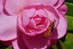 Camellia with red wasp. Camellia with a red wasp Royalty Free Stock Image