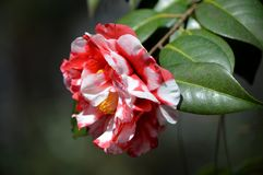 Camellia Royalty Free Stock Photos
