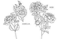 Camellia and Roses flower drawing and sketch. Stock Image